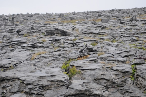 Shane pointed to grass and small trees growing in crevaces in The Burren's limestone. Tom Nangle photo