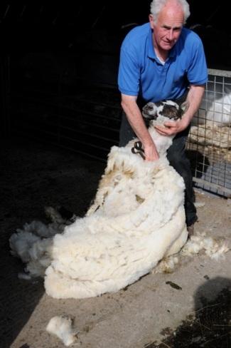 Sheep shearing at Dieskirt Farm ©Hilary Nangle