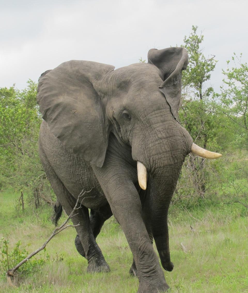 Elephant Img