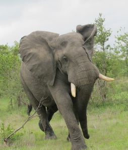 Charging bull elephant at &Beyond Ngala, South Africa. Hilary NAngle photo
