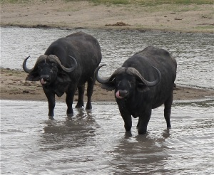 Water Buffalo at &Beyond Ngala, South Africa. Hilary Nangle photo