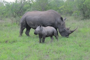 White Rhino, &Beyond Ngala, Hilary Nangle photo