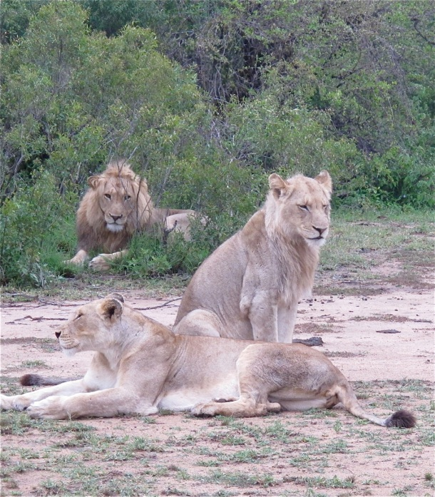 Lions at &Beyond Ngala, South Africa. Hilary Nangle photo