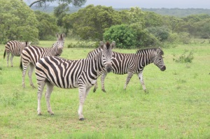 Zebras, &Beyond Ngala, Hilary Nangle photo