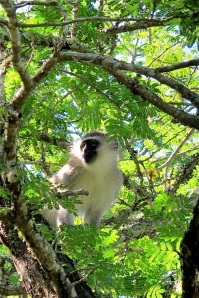 Vervet monkey, &Beyond phinda, Hilary Nangle photo