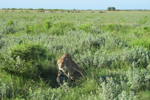 Cheetah, &Beyond Phinda, Hilary Nangle photo