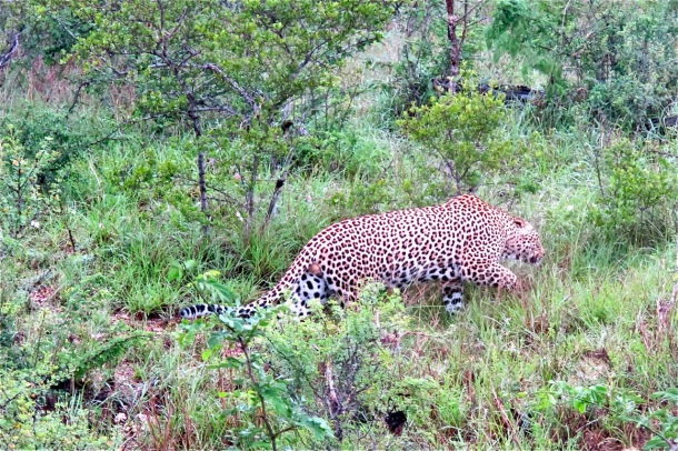 Leopard, &Beyond Ngala, Hilary Nangle photo