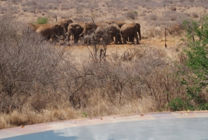 Elephants gather at the Satao Elerai watering hole within view of the pool. hilary nangle photoIMG_8831